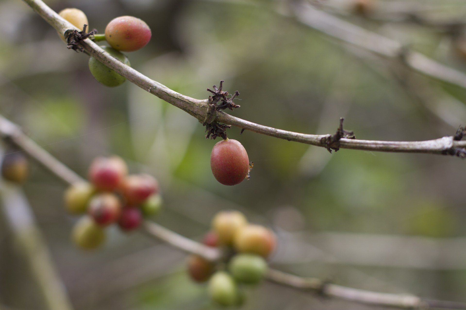 Isveglio - The Secret of Ecuadorian Coffee