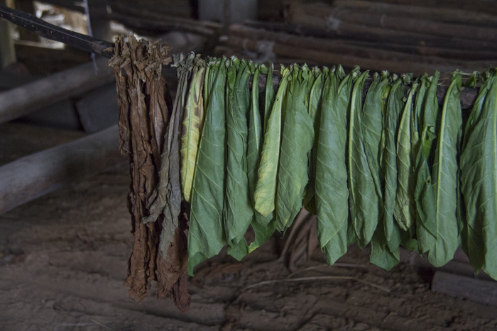 Tobacco leaves drying to late be used to roll the cigars